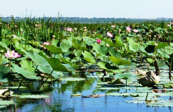Озеро с лотосами баннер